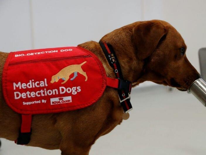 سگ های بویاب پزشکی برای شناسایی بیماران کرونا آزمایش می شوند